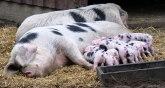 Kina: Afrička kuga srezala svinjski fond za trećinu