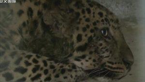 """Kina, životinje: Sedam i kusur dana dana potrage za """"ničijim"""" leopardom"""
