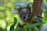 Koala ušla u jednu kuću i smestila se na božićnu jelku FOTO