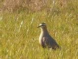 Kod niškog sela Bubanj prvi put viđen stepski vivak, nova vrsta ptice u Srbiji