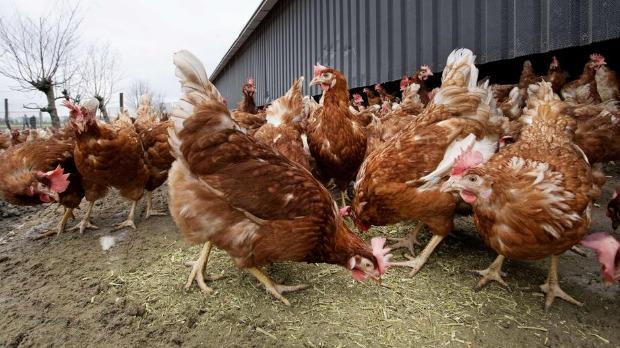 Koke u Srbiji godišnje snesu skoro 1,5 milijardi jaja