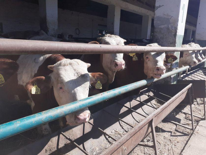 Kolika je isplativost u mlečnom govedarstvu?