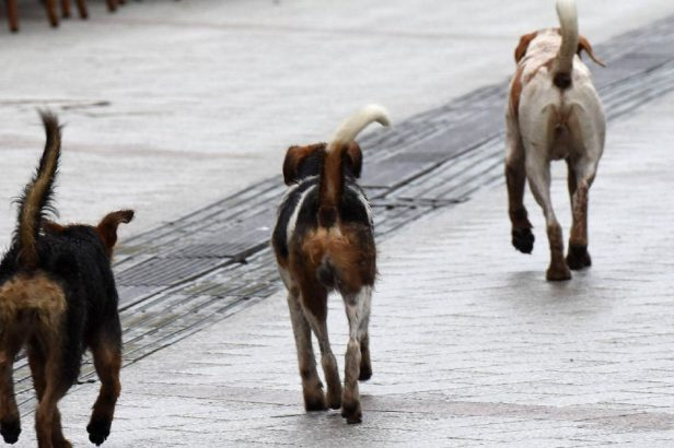 Koliko je pasa lutalica uhvaćeno na prijepoljskim ulicama?