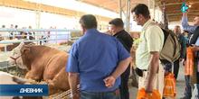Kombajn od 600.000 evra našao kupca, bikovi Disko i Mališa nisu na prodaji