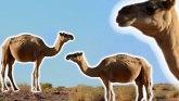 Korona virus: Kako su bolesne kamile pomogle Južnoj Koreji da se izbori sa epidemijom