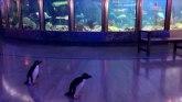 Korona virus: Pingvini su krenuli u šetnju kroz akvarijum zatvoren zbog korone