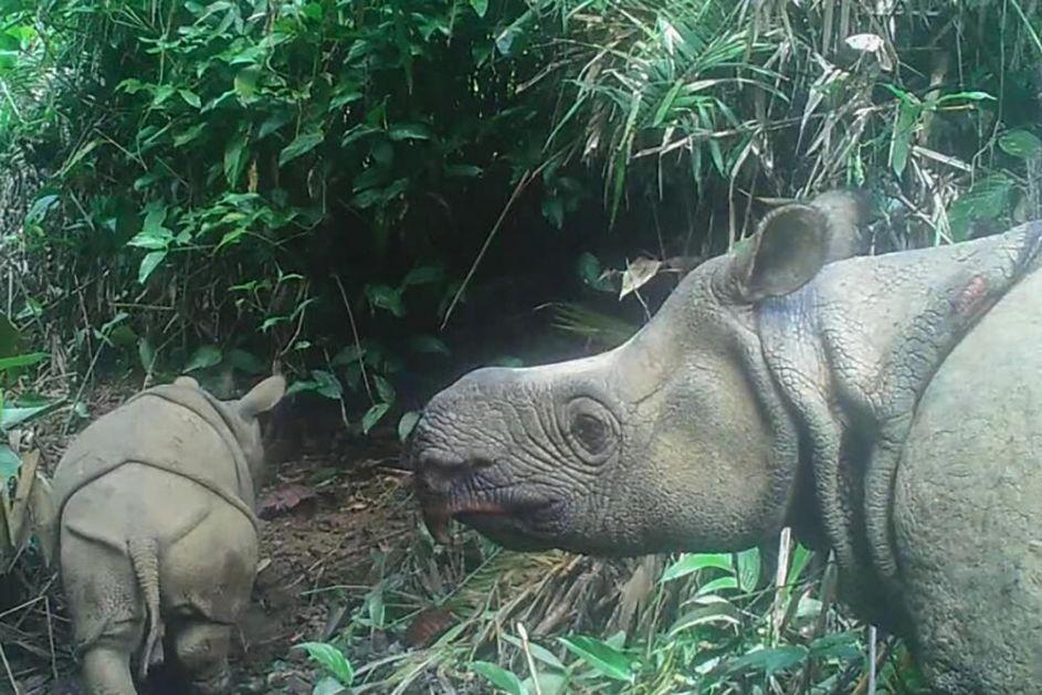 LEPE VESTI Na Javi snimljena dva mladunčeta ugrožene vrste javanskog nosoroga