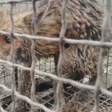 LISICA UDAVILA 40 PILIĆA U SELU KOD ČAČKA: Domaćin nakon nekoliko dana borbe odlučio da stane na put predatoru (FOTO)
