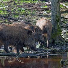 LOVCI PROTIV AFRIČKE KUGE! U Prokuplju pre roka otvorena sezona lova na divlje svinje i to iz jednog razloga