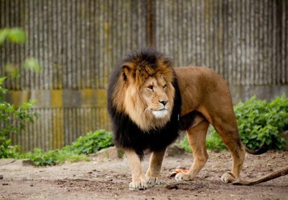 Lav prošetao ulicama Bengazija! Postao je glavna tema!