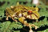 Led cepelin - ime nove vrste žabe pronađene u Andima