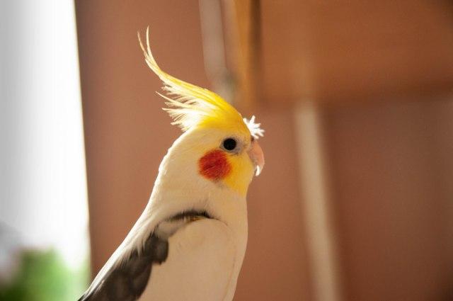 Ljubomorniji od njega ne postoji - papagaj urniše dečka svoje vlasnice