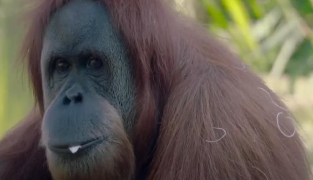 MAJMUNI VAKCINISANI PROTIV KORONE! Zoo vrt u San Dijegu se odlučio na ovaj neobičan potez, ušli u istoriju medicine (VIDEO)