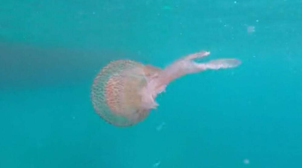 MALA ALI OPAKA: U Jadranu uočena meduza morska mesečina, njen dodir uništava kožu