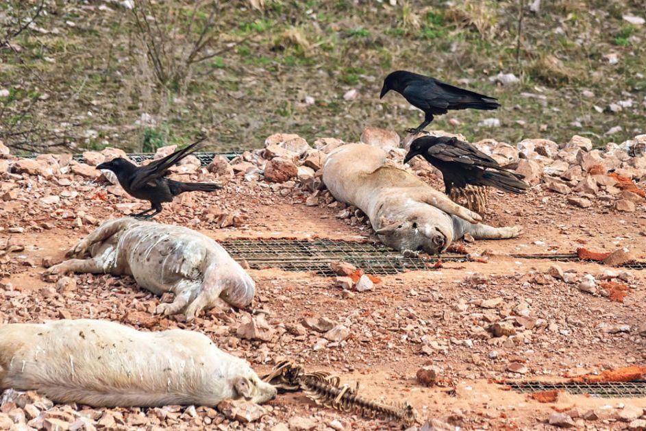 MINISTARSTVO POLJOPRIVREDE: Brojevi za prijavu uginulih svinja