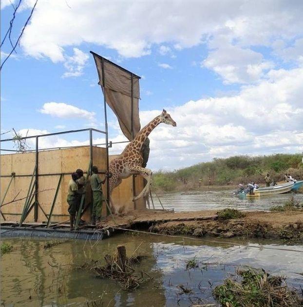Mama i beba žirafa spašene sa ostrva koje tone