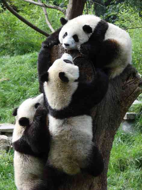 Milijardu i po dolara za rezervat pandi u Sečuanu