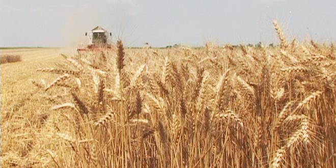 Ministarstvo poljoprivrede će podneti zahtev za članstvo u Međunarodnom žitarskom savetu