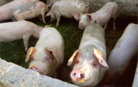 Ministarstvo poljoprivrede uvodi nove preventivne mjere zbog afričke svinjske kuge