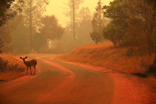 Mišolikom jelenu preti istrebljenje, ali ima nade
