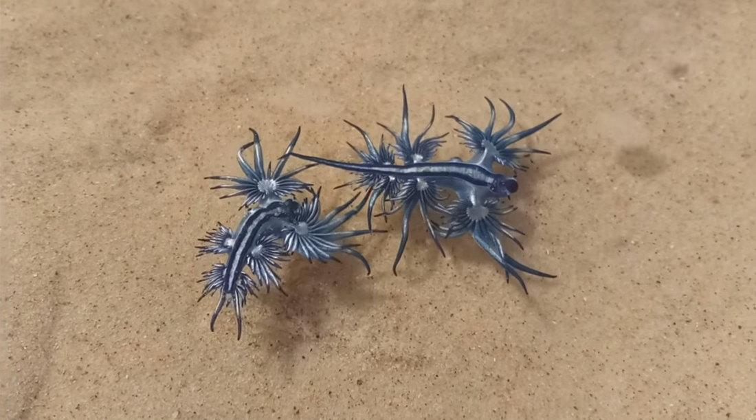Morske laste - plavi zmajevi na obali ostrva Padre