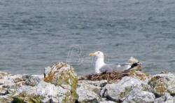 Morski galeb se ponovo gnezdi u Srbiji