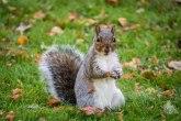 Može li zaražena veverica kod Denvera učiniti da 2020. bude još gora?