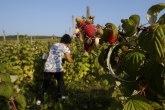 Muke malinara u Ivanjici: Lopovi im noću kradu najkupnije plodove