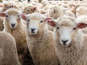 Muke stočara: Jagnjad i ovce za bagatelu