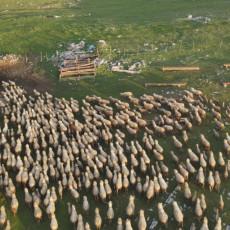 NAJVEĆE STADO OVACA NA BALKANU JE U SRBIJI: Vredna braća imaju više od 1000 grla, na Pešteru prave neverovatne količine sira (FOTO)