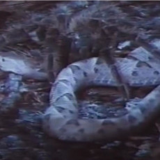 NAUČNICI SU IZNENAĐENI, A BIĆETE I VI: Da li pauk može da ubije i pojede zmiju?