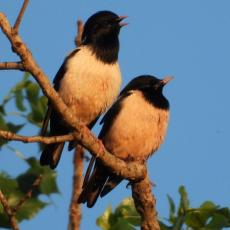NEOBIČNI POSETIOCI IZNENADILI ŠUMADINCE: Jato vrlo retkih ptica doletelo čak iz Indije i nastanilo se kod nas (FOTO)
