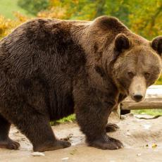 NEOČEKIVANI SUSRET U BANJALUCI: Šetnja se završila oči u oči sa - medvedom