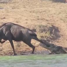 NESTVARAN SNIMAK! Krokodil ščepao nesrećnu životinju - u pomoć pritekli NILSKI KONJI! (VIDEO)