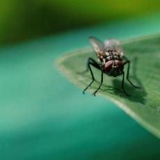NISU SAMO DOSADNE Muve prenose više stotina bolesti, a jedna bakterija je posebno OPASNA (FOTO/VIDEO)