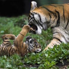 Na Kubi rođena retka vrsta tigra: Napokon uspeli posle 20 godina pokušaja uzgoja (VIDEO)