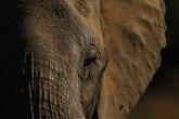 Najusamljeniji slon na svetu morao da se testira na kovid 19