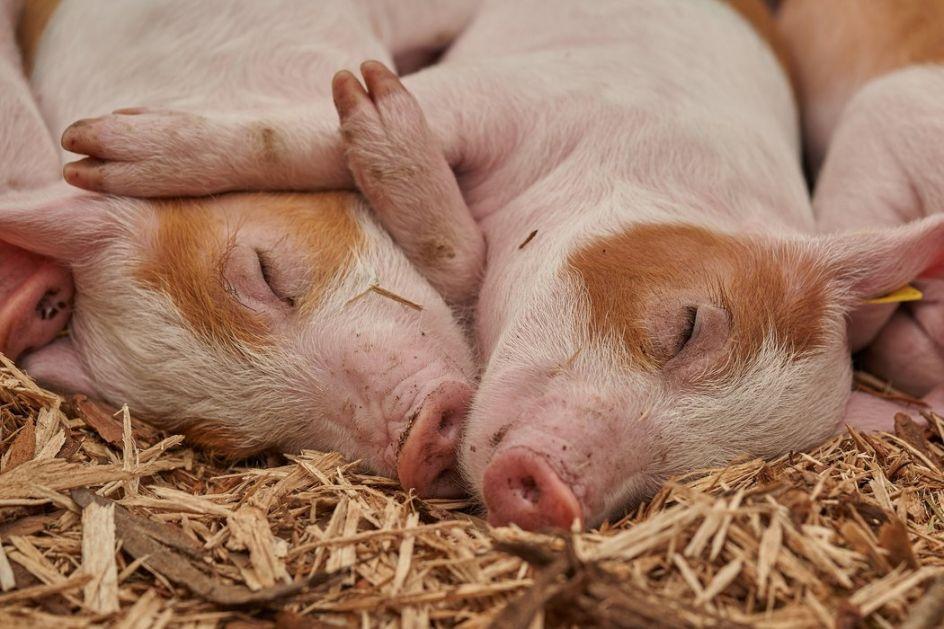 Ne postoji veliki strah od širenja afričke kuge svinja, već neophodan oprez