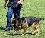 Ne prezaju od metoda u borbi protiv koronavirusa: Dresiraju pse za otkrivanje obolelih