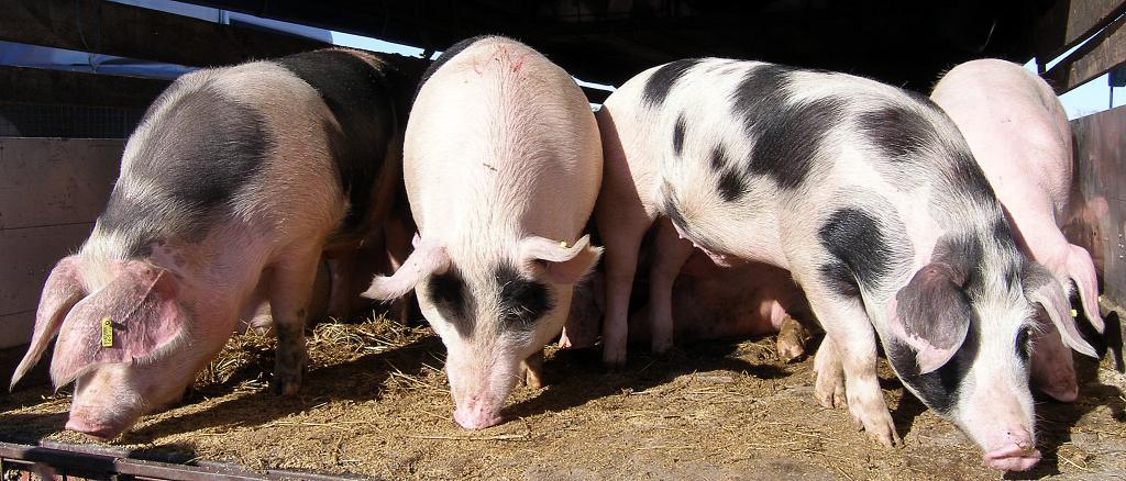Nedimović: Potvrđena afrička kuga svinja u Srbiji