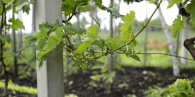 Nestabilno vreme zabrinjava vinogradare