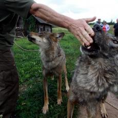 Nesvakidašnje navike Beograđana: Po kućama drže vukove, zmije pa čak i ALIGATORE
