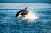 Neverovatno bekstvo: Orki za dlaku izmakao plen VIDEO