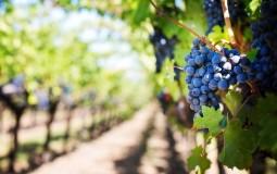 Nije samo ukusna voćka, već i lek: Grožđe čisti krv, poboljšava varenje, uklanja masne naslage