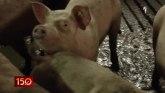 Nikad manja zarada od prodaje svinja: Gubitak i 2.000 dinara po tovljeniku VIDEO