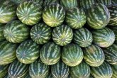 Nisu obrali ni prvi rod lubenica, a počeli da sade nove u staklenicima