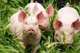 Novi koronavirus pronađen kod svinja: Pokazuje potencijal širenja na ljude