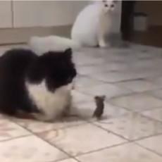OČI U OČI SA NAJVEĆIM NEPRIJATELJEM: Ovo je verovatno najhrabriji miš na svetu, pogledajte šta je uradio (VIDEO)