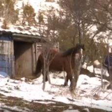 OD TOGA ŽIVIM U Ivanjičkom kraju medved usmrtio konja, vlasnik umesto odštete dobio - kaznu!