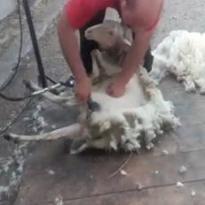 OŠIŠAO JU JE ZA MANJE OD MINUT! Nije mogao da se zaposli posle faksa, pa postao PROFESIONALNI šišač ovaca! (VIDEO)